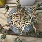 옥연(화분제외, 배송중 가지부러질수있어요)|Sedum furfuraceum