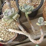 월미인(화분제외)|Pachyphytum oviferum Tsukibijin