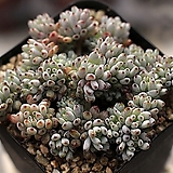 블루빈스 군생 2-9306|Graptopetalum pachyphyllum Bluebean