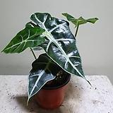 거북알로카시아 소품 반려식물 15253520 Alocasia