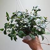 오색마삭 행잉 실속형 공중식물 35454930 