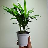 작지만강하다 아레카야자 실속형 공기정화식물 35454525 