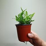 청트라이칼라고사리 수입고사리 공기정화식물 15203520 
