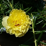겹꽃노랑꽃채송화|