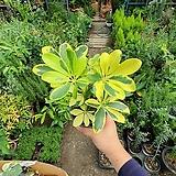 칼라홍콩 무늬홍콩 소품 공기정화식물 15~25cm|
