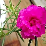 겹꽃채송화|