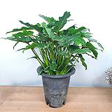 셀렘 / 공기정화식물 / 묵은둥이 / 한빛농원|