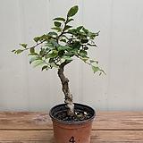 소사나무 #4|