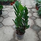 금전수|Zamioculcas zamiifolia