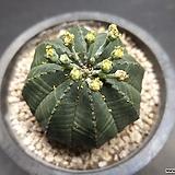 오베사(수)-8801 Baseball Plant (Euphorbia obesa)