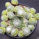 거미줄 바위솔-8801 Sempervivum arachnoideum tomentosum