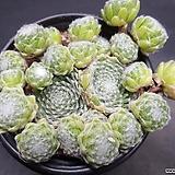 거미줄 바위솔-8802 Sempervivum arachnoideum tomentosum