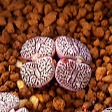 위트버젠스 rr714|Conophytum Wittebergense