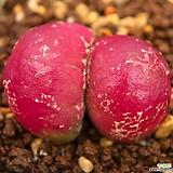 부르게리|Conophytum burgeri