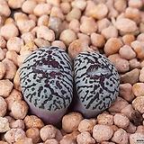 코노피튬 일반종 minimum var.wittebergence 위트버젠스 씨앗 5립 (요적태선 RR714 CS035)|Conophytum Wittebergense