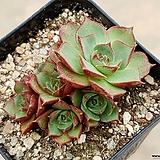 환엽롱기시마 8-381|Echeveria longissima