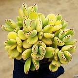 웅동자금 8-394|Cotyledon tomentosa ssptomentosa