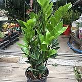 금전수 돈나무 공기정화식물|Zamioculcas zamiifolia