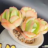 둥근잎비취후리대 Echeveria Peach Pride