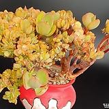 상학철화 Echeveria Pallida