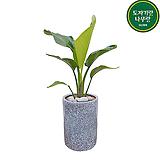 극락조 (여인초) 시멘트원형완성분 인테리어식물 공기정화식물|