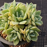 펀퀸 718-4|Echeveria fun queen