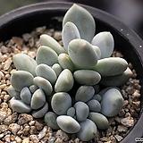 환엽후레뉴 군생 2-9167|Pachyphtum cv Frevel