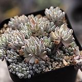 블루빈스 군생 2-9307|Graptopetalum pachyphyllum Bluebean