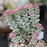 희성금 758|Crassula Rupestris variegata