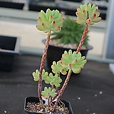 을려심 771|sedum pachyphyllum