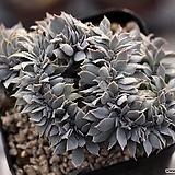 양로 철화 2-9348|Echeveria peacockii subsessilis