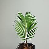 작지만강한 소철 소품 공기정화식물 15254930