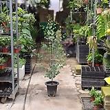 유칼립투스 폴리안 큰대품 공기정화식물 허브 12016036920|