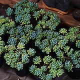 로치 다육식물 다육화분|Sedum Clavatum