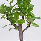 뱅갈고무나무|Ficus elastica