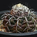 디스코켁터스 discocactus plancentiformis