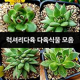예쁘고 다양한 다육식물 (럭셔리다육)|