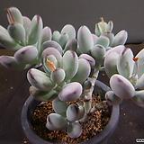 방울복랑 720-2150|Cotyledon orbiculata cv