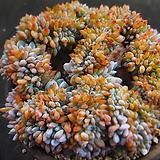 오렌지먼로묵은둥이대품 720-2237|Echeveria Monroe(Orange)