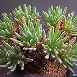 에둘리스묵은둥이대품 720-1092|Dudleya edulis
