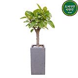 뱅갈고무나무 (시멘트사각완성분) 대품 大 그레이 개업선물 축하화분 인테리어식물|Ficus elastica