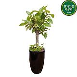 뱅갈고무나무 사기완성분 중품 개업선물 공기정화식물|Ficus elastica