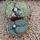 코노피튬 오브코델룸 씨앗 10립 (쎄레시아넘 씨앗 CS039)|Conophytum