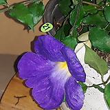 킹스멘톨 [보라색꽃이게속피고지고합니다 ]|