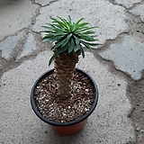 괴마옥/|Euphorbia hypogaea