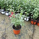 체리세이지 소품 세이지 허브 공기정화식물 15~25cm|