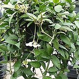 Hoya carnosa라쿠노사进口Hoya carnosa공기정화식물60~80cm