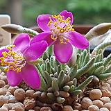 알스토니 수입 씨앗 (From Arica--적색|Avonia quinaria ssp Alstonii