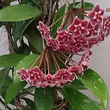 호야.메모리아(빨강색).꽃색깔예뻐요.향기좋은향.인테리어효과.공기정화식물.꽃눈이 많아요.. Echeveria Memory
