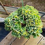 레몬로즈철화 (대품) 40.9 0718|Echeveria Lemon Rose
